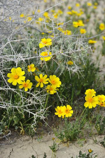 blog 11 Mojave Desert, CA|58W near Mojave, Coreopsis?_DSC6988-3.19.17.(2).jpg