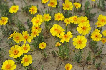blog 11 Mojave Desert, CA|58W near Mojave, Coreopsis?_DSC7000-3.19.17.(2).jpg