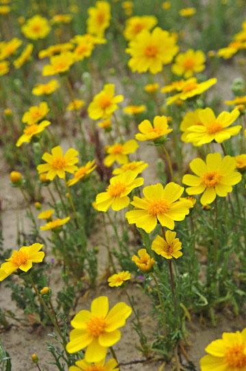 blog 11 Mojave Desert, CA|58W near Mojave, Coreopsis?_DSC6997-3.19.17.(2).jpg