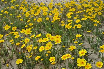blog 11 Mojave Desert, CA|58W near Mojave, Coreopsis?_DSC6994-3.19.17.(2).jpg