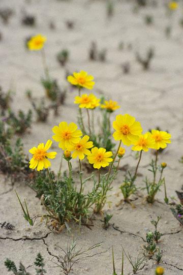 blog 11 Mojave Desert, CA|58W near Mojave, Coreopsis?_DSC7015-3.19.17.(2).jpg