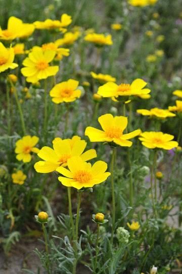 blog 11 Mojave Desert, CA|58W near Mojave, Coreopsis? 2_DSC7005-3.19.17.(2).jpg