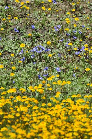 blog 42 Auburn to Weeds on 5N, Sacramento NWR, Goldfields, Hoover's Downingia & Harlequin Downingia, CA_DSC9911-4.25.16.(1).jpg