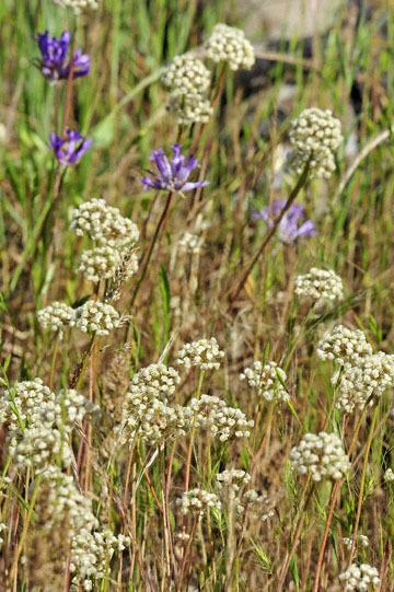 blog 42 Auburn to Weeds on 5N, Red Bluff 134E, Mt. Lassen, Allium & Blue Dix, CA 2_DSC9963-4.25.16.(1).jpg