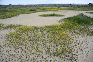 blog 11 Mojave Desert, CA|58W near Mojave, Coreopsis?_DSC7024-3.19.17.(2).jpg