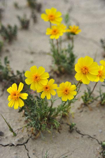 blog 11 Mojave Desert, CA|58W near Mojave, Coreopsis?_DSC7023-3.19.17.(2).jpg