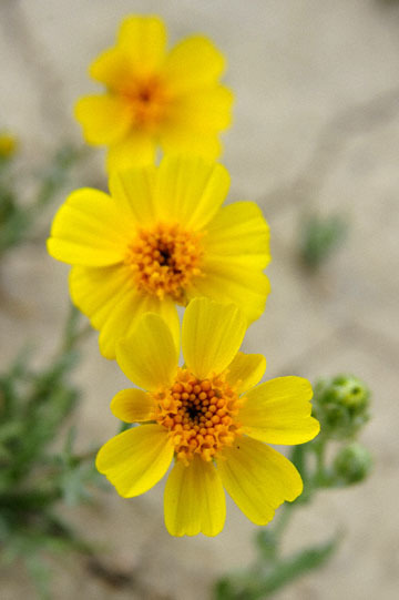 blog 11 Mojave Desert, CA|58W near Mojave, Coreopsis ?2_DSC7018-3.19.17.(2).jpg