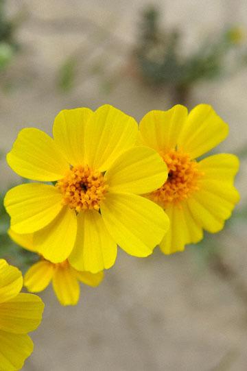 blog 11 Mojave Desert, CA|58W near Mojave, Coreopsis?_DSC7017-3.19.17.(2).jpg