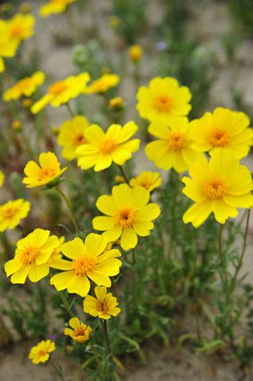 blog 11 Mojave Desert, CA 58W near Mojave, Coreopsis?_DSC7033-3.19.17.(2).jpg