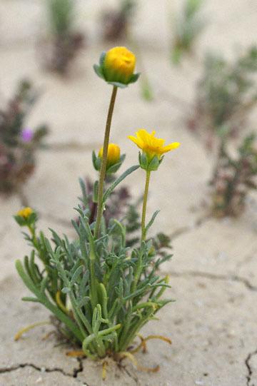 blog 11 Mojave Desert, CA 58W near Mojave, Coreopsis?_DSC7025-3.19.17.(2).jpg