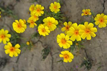 blog 11 Mojave Desert, CA 58W near Mojave, Coreopsis?_DSC7040-3.19.17.(2).jpg