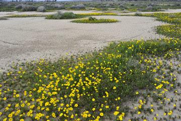 blog 11 Mojave Desert, CA 58W near Mojave, Coreopsis?_DSC7039-3.19.17.(2).jpg