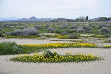 blog 11 Mojave Desert, CA 58W near Mojave, Coreopsis?_DSC7037-3.19.17.(2).jpg