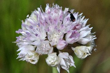 blog 43 Auburn to Weeds on 5N, Mt. Lassen 134E, Allium, CA 2_DSC0014-4.25.16.(2).jpg