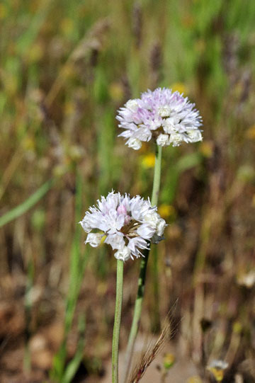 blog 43 Auburn to Weeds on 5N, Mt. Lassen 134E, Allium, CA 2_DSC0011-4.25.16.(2).jpg