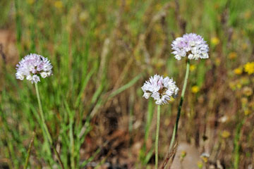 blog 43 Auburn to Weeds on 5N, Mt. Lassen 134E, Allium, CA_DSC0010-4.25.16.(2).jpg