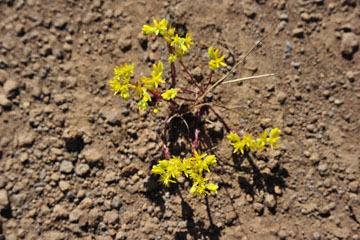 blog 43 Auburn to Weeds on 5N, Mt. Lassen 134E, Sedum, CA_DSC0016-4.25.16.(2).jpg
