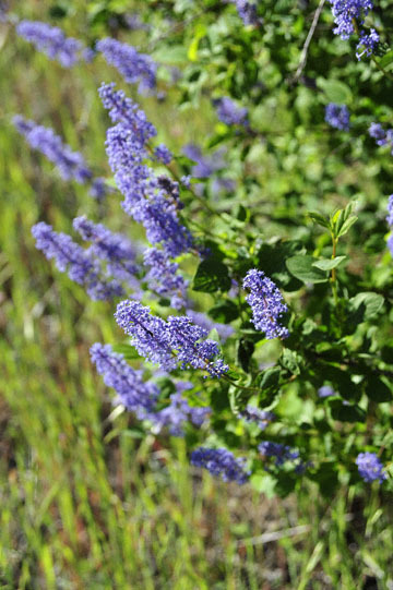 blog 43 Auburn to Weeds on 5N, Mt. Lassen 134E, Mountain Lilac, CA_DSC0044-4.25.16.(2).jpg