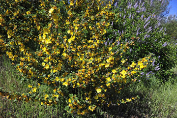 blog 43 Auburn to Weeds on 5N, Mt. Lassen 134E, Flannel Bush & Mountain Lilac, CA_DSC0040-4.25.16.(2).jpg