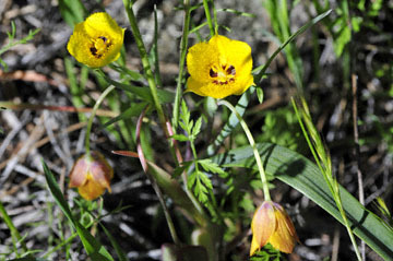 blog 43 Auburn to Weeds on 5N, Mt. Lassen 134E, Calochortus, Yellow Star Tulip, CA 2_DSC0055-4.25.16.(2).jpg