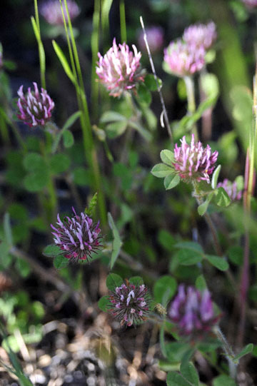 blog 43 Auburn to Weeds on 5N, Mt. Lassen 134E, Red Clover, CA_DSC0061-4.25.16.(2).jpg
