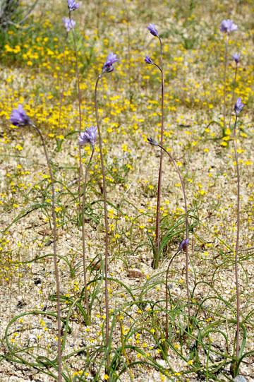 blog 12 Mojave, CA to Beatty, NV, CA|14N near Mojave, Mojave Desert, 395N, Goldfields & Blue Dix 2_DSC7111-3.20.17.jpg