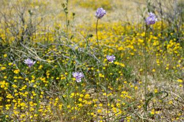 blog 12 Mojave, CA to Beatty, NV, CA|14N near Mojave, Mojave Desert, 395N, Goldfields & Blue Dix_DSC7108-3.20.17.jpg