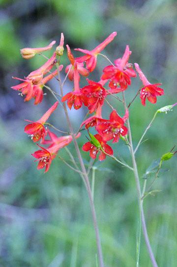 blog 43 Auburn to Weeds on 5N, Mt. Lassen 134E, Canyon Delphinium, CA 2_DSC0120-4.25.16.(2).jpg
