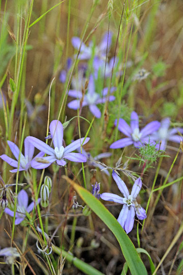 blog 43 Auburn to Weeds on 5N, Mt. Lassen 134E, Brodiaea, CA_DSC0117-4.25.16.(2).jpg