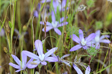 blog 43 Auburn to Weeds on 5N, Mt. Lassen 134E, Brodiaea, CA 2_DSC0113-4.25.16.(2).jpg