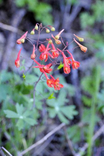 blog 43 Auburn to Weeds on 5N, Lake Shasta area, Canyon Delphinium, CA_DSC0129-4.25.16.(2).jpg