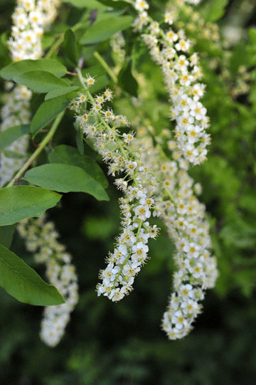 blog 43 Auburn to Weeds on 5N, Lake Shasta area, Cherry?, CA_DSC0144-4.25.16.(2).jpg
