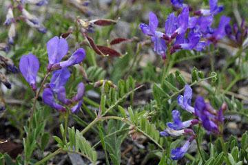 blog 45 Weed to Prineville 97E-126E, Mt. Shasta, Pea, CA 2_DSC0232-4.26.16.jpg