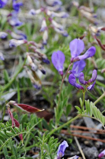 blog 45 Weed to Prineville 97E-126E, Mt. Shasta, Pea, CA 2_DSC0233-4.26.16.jpg