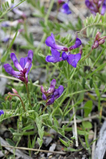 blog 45 Weed to Prineville 97E-126E, Mt. Shasta, Pea, CA 2_DSC0240-4.26.16.jpg