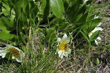 blog 46 Prineville, Ochoco NF, White Mule Ears (Wyethia helianthoides), OR_DSC0269-4.30.16.(1).jpg