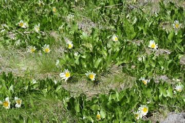 blog 46 Prineville, Ochoco NF, White Mule Ears (Wyethia helianthoides), OR 2_DSC0273-4.30.16.(1).jpg