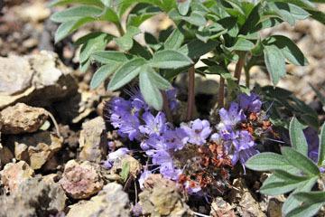 blog 46 Prineville, Ochoco NF, Dwarf Waterleaf (Hydrophyllum capitatum), OR_DSC0286-4.30.16.(1).jpg