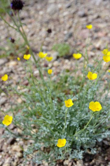 blog 13 95S-178W, Shoshone to Badwater, Pygmy Poppy, CA_DSC7284-3.31.17.jpg