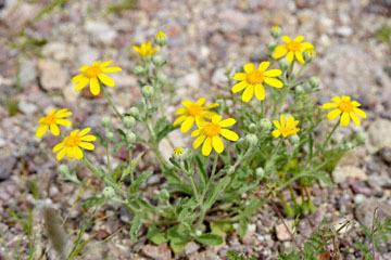 blog 13 95S-178W, Shoshone to Badwater, Daisy ?, CA_DSC7281-3.31.17.jpg