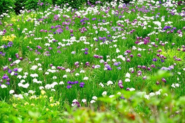 2紫陽花14.06.22