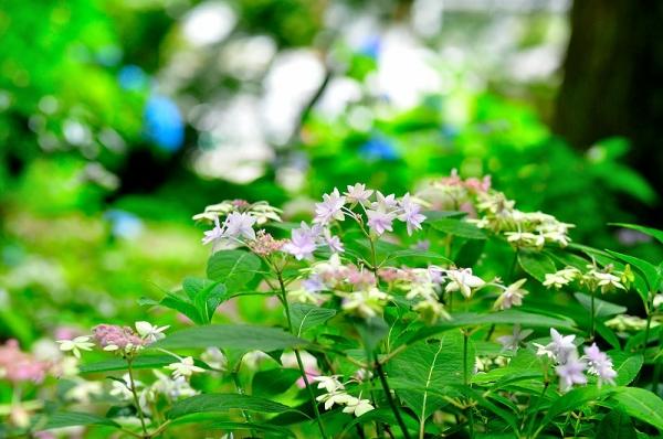 7紫陽花14.06.22