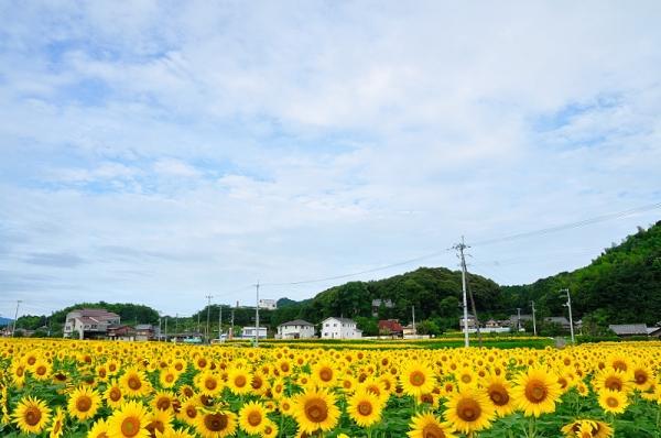 9帆山向日葵17.07.08