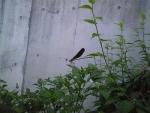 オハグロ蜻蛉