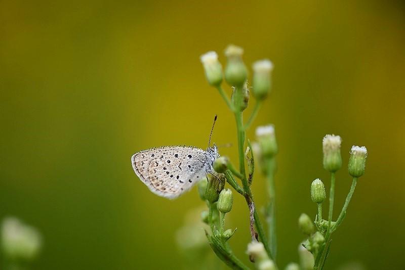 シジミ蝶2