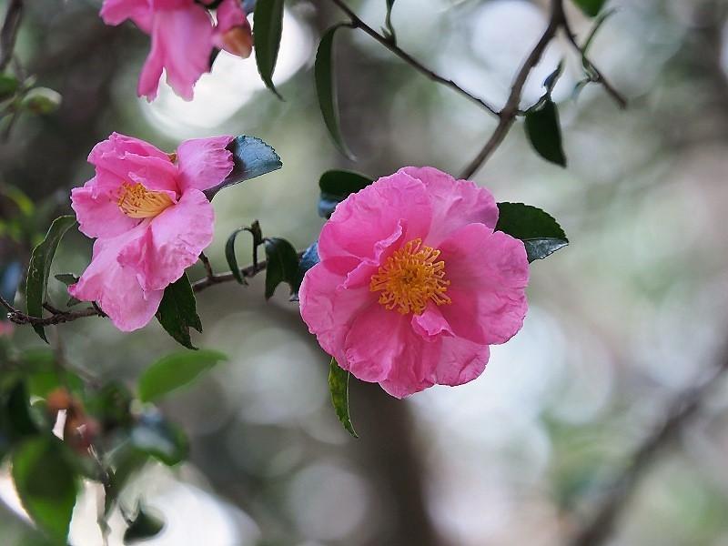 山茶花(ピンク)1