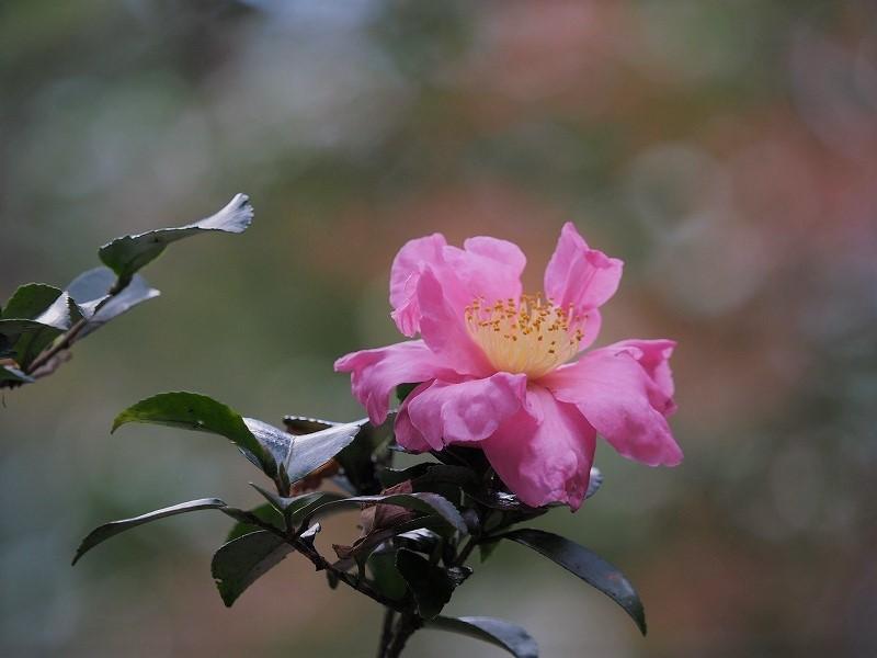 山茶花(ピンク)2
