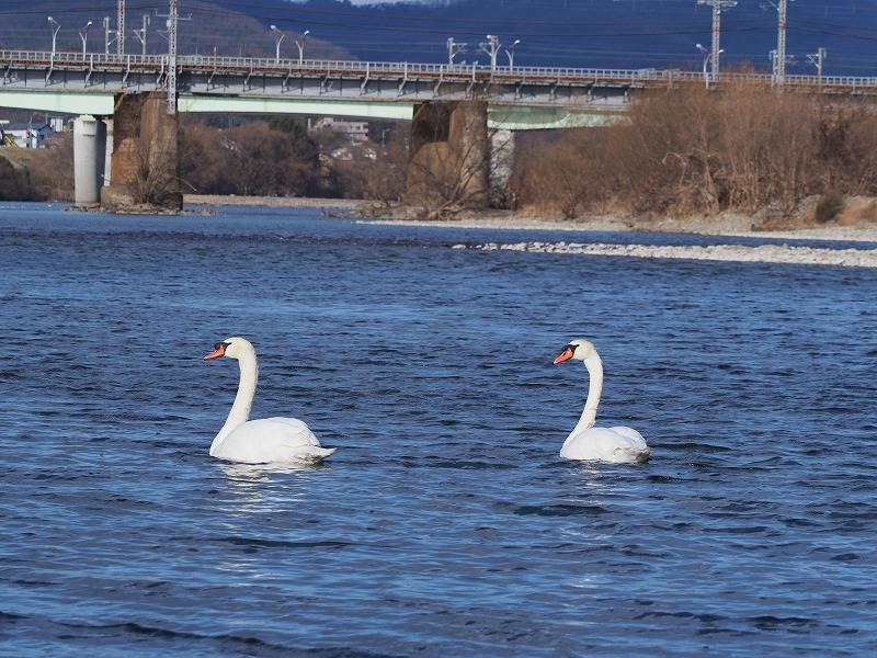 旭川の白鳥3