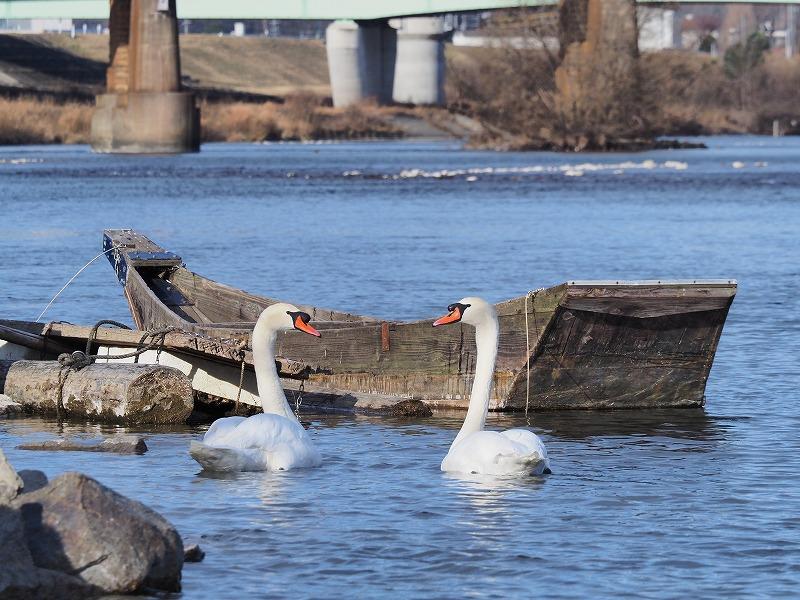 旭川の白鳥10