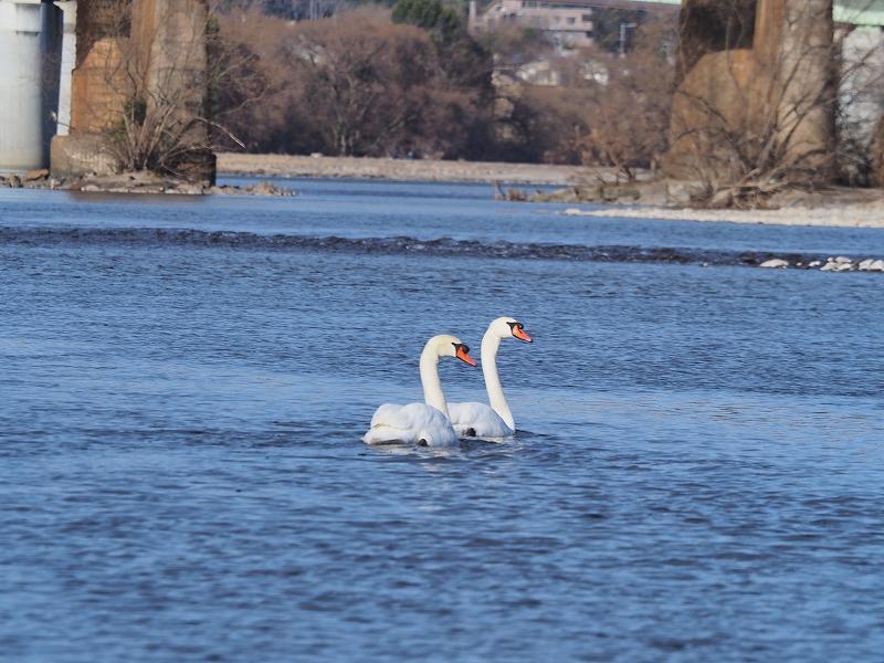 旭川の白鳥4